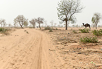 NIGER, Maradi, village Dan Bako, desertification, camel searching for fodder