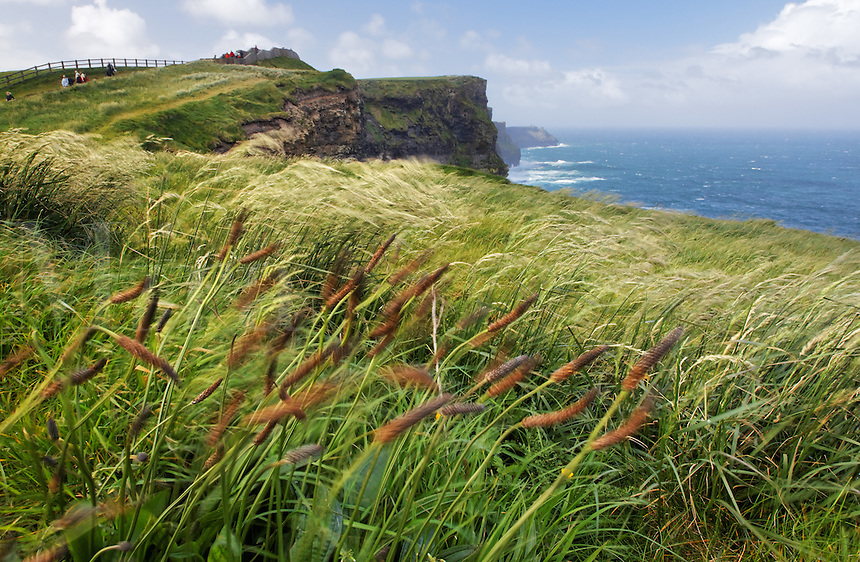 Grasses blowing in the wind atop the Cliffs of Mohr, Hag's Head, The Burren, County Clare, Republic of Ireland