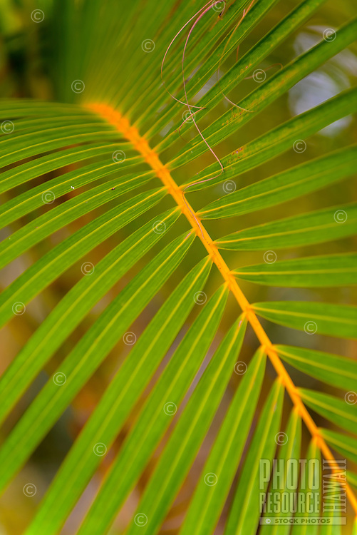 A close-up of a palm branch, Kaua'i.