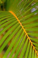 A close-up of a palm branch, Kaua'i.