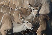 Female Kudu drinking at Klein Namutoni Water Hole in Etosha, Namibia