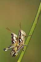 Short-horned Grasshopper (Acrididae), pair mating, Dinero, Lake Corpus Christi, South Texas, USA