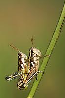 Short-horned Grasshopper (Acrididae), pair mating, Dinero, Lake Corpus Christi, South Texas, USA
