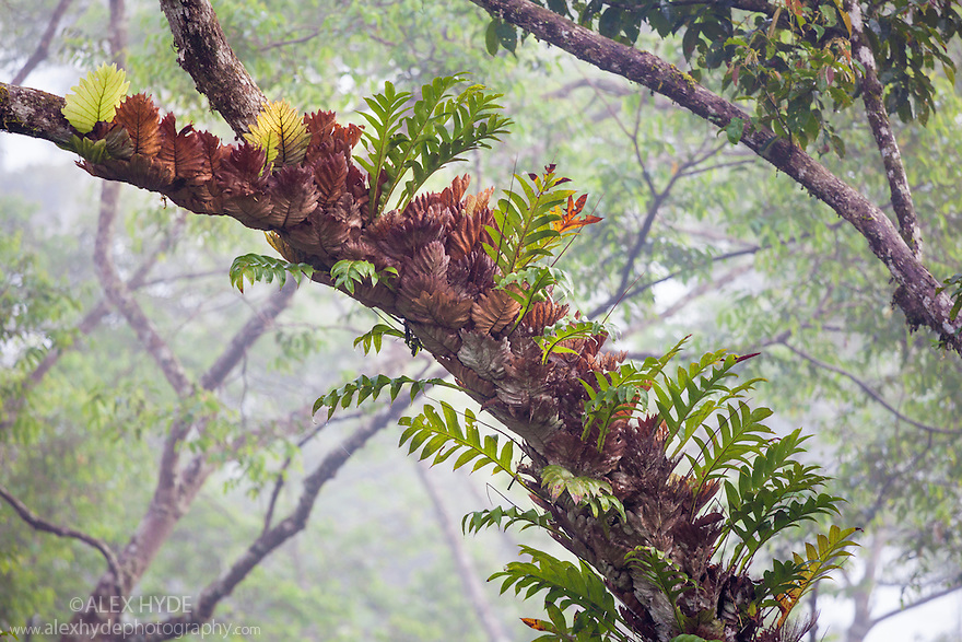 Epiphytic ferns in lowland dipterocarp rainforest canopy. Danum Valley, Sabah, Borneo, Malaysia.