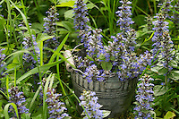 Kriechender Günsel, Ernte, Kräuter sammeln, gepflückte Pflanzen in einem Eimer, Ajuga reptans, bugle, blue bugle, bugleherb, bugleweed, carpetweed, carpet bungleweed, common bugle, La bugle rampante