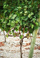Chateau Etang des Colombes Lezignan Corbieres. Les Corbieres. Languedoc. Young vines. Good illustration of how Cordon is built. France. Europe. Vineyard.