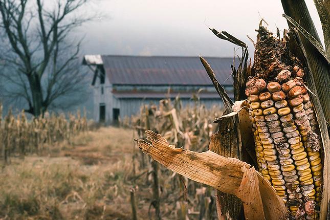 Old barn in corn field in morning fog