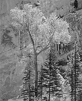 """""""Sheep Rock Canyon"""" <br /> Flaming Gorge National Recreation Area, Utah<br /> <br /> Cottonwood and pines are bathed by midday light in a narrow canyon in the vicinity of the Flaming Gorge National Recreation Area. Light at the scene had a brilliant quality that was recorded well in this black and white photograph."""