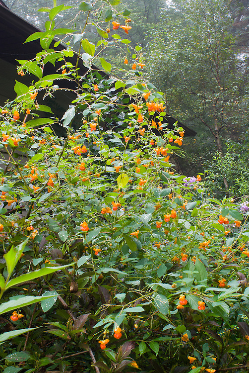 Impatiens capensis, Native American annual wildflower, Orange Jewelweed, in bloom in late summer with Weigela