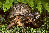1R40-059x  Eastern Box Turtle - Terrapene carolina