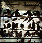 August 2000. Jakarta, Indonesia. Birds are for sale on Jalan Balito in Jakarta. Since Suhartos downfall the endangered animal business has proliferated because of government corruption and inability to police the industry.