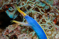 ribbon eel, Rhinomuraena quaesita, Beqa Lagoon, Pacific Harbour, Fiji, South Pacific Ocean