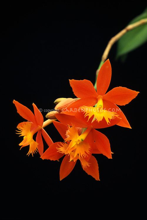 Epidendrum cinnabarinum, reedstem orchid species