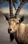 Israel, an Ibex in Ein Gedi by the Dead Sea