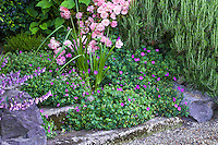 Pink flowering shrub rose 'Cornelia' in mixed border with rosemary and  flowering geranium sanguineum sprawling groundcover in cracks of stone step path; Gary Ratway garden