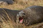 .Les éléphants de mer se reposent sur les plages de la baie d'Ainsworth.sea elephants on a small island. Almirantazgo fjord. Ainsworth Bay nearby Darwin cordillera