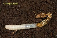 1C33-563z Darkling Beetle or Mealworm Larva molting old skin, Tenebrio molitor