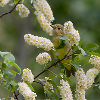 Female Western Tanager (Piranga ludoviciana) in wild Chokecherry bush.  Idaho/Wyoming border area.  June.