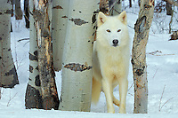 White Gray Wolf or Timber Wolf (Canis lupus)