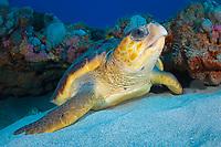 Loggerhead Sea Turtle (Caretta caretta) in Juno Beach, Florida.