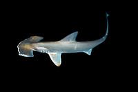 Scalloped hammerhead shark pup, Sphyrna lewini, kept for research, Hawaii Institute of Marine Biology, Kaneohe Bay, Oahu, Hawaii, USA, Pacific Ocean (c)