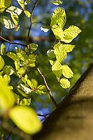 Buche, Rot-Buche, Rotbuche, Fagus sylvatica, Blätter, Blatt, Blätterdach, Blattwerk, Buchenblatt, Buchenblätter, Common Beech, leaf, leaves