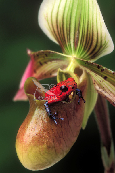 STRAWBERRY POISON FROG on orchid..Native to Nicaragua, Costa Rica & Panama..Captive. (Dendrobates pumilio).