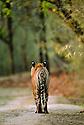 Male Bengal Tiger (Panthera tigris tigris) walking along forest track. Bandhavgarh National Park, India