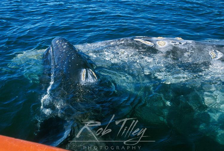 Mexico, Baja California Sur, San Ignacio, Laguna San Ignacio, Gray Whale Mother & Calf (Eschrichtius robustus)