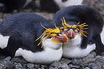 Royal Penguins,Australia (Vulnerable)