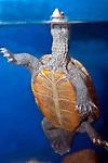 diamondback terrapin breathing at surface