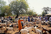 Gambia. Goat market in the interior of the country; goats and kids feeding from lorry tyres, men haggling.