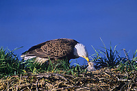 Bald eagle feeding young eaglet, June
