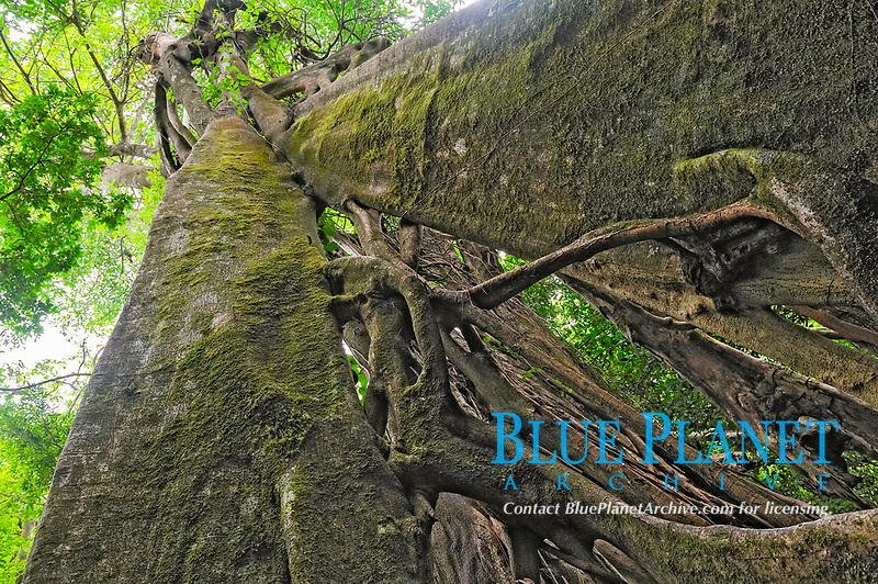 strangler fig, fig tree, Ficus species, Rincon de la Vieja Volcano, Guanacaste, Costa Rica