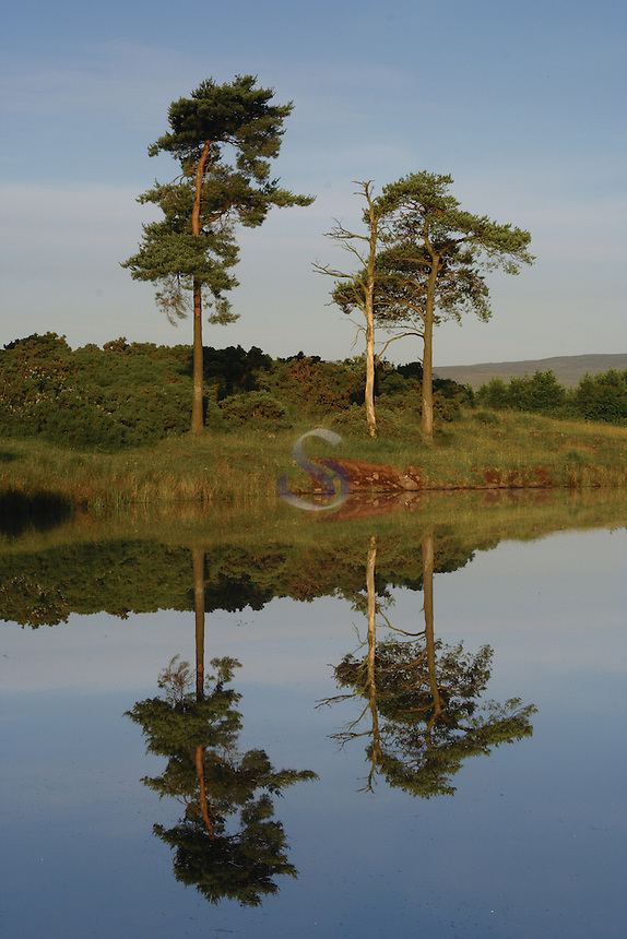 Scots Pine at Knapps Loch near Kilmacolm, Inverclyde<br /> <br /> Copyright www.scottishhorizons.co.uk/Keith Fergus 2011 All Rights Reserved