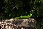 Croatia, Kvarner Gulf: European green lizard (Lacerta viridis) | Kroatien, Kvarner Bucht: Oestliche Smaragdeidechse (Lacerta viridis)