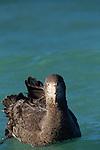 Northern Giant Petrel (Macronectes halli) on water, Kaikoura, South Island, New Zealand