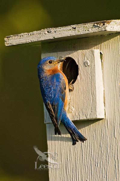 Eastern Bluebird (Sialia sialis). Male on nesting box. Spring. Carolinian Forest. Lake Ontario, Ontario, Canada.