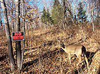 """Deer stands in forest beside """"no hunting"""" sign, making eye contact."""