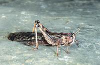 Wüstenheuschrecke, Wüsten-Heuschrecke, Afrikanische Wanderheuschrecke, Schistocerca gregaria, Desert locust