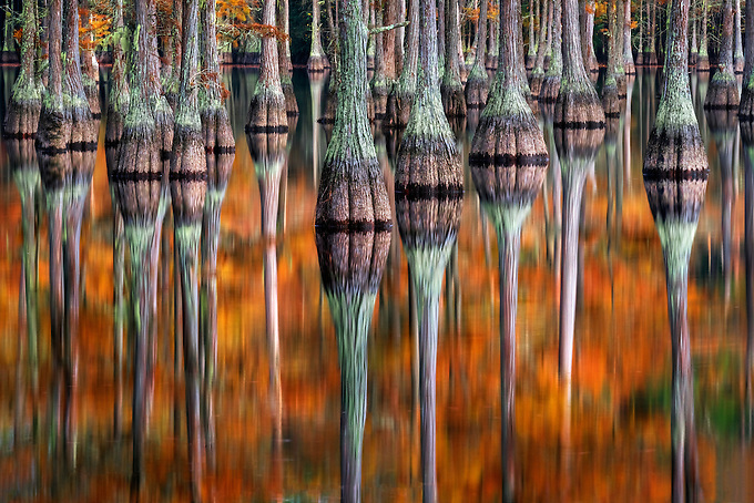 Vibrant autumn color reflected on the swamp water on a calm morning.