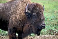 MA31-051z  American Bison - buffalo - Bison bison
