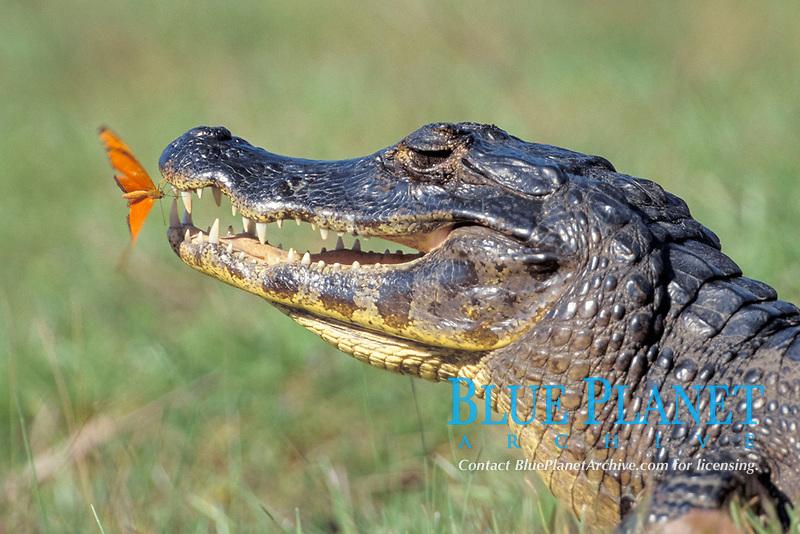 Yacare caiman, Caiman crocodilus, & Flambeau butterfly, Dryas julia, Pantanal, Brazil
