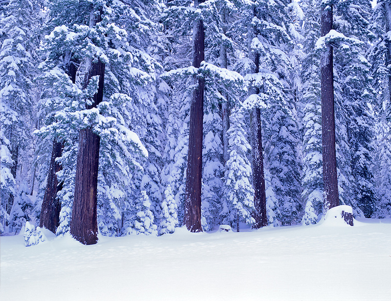 Snow covered trees with black trunks. Willamette National Forest, Oregon.
