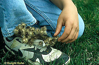 BD03-011z  Burdocks - burdock seeds on child's sneaker, seed dispersal - Arctium minus