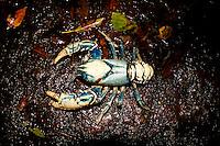 Lamington Crayfish in Stream, Lamington National Park, Queensland