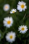 Oxeye Daisies (Leucanthemum vulgare) growing in alpine meadow. Nordtirol, Tirol, Austrian Alps, Austria, 1700 metres altitude, July.