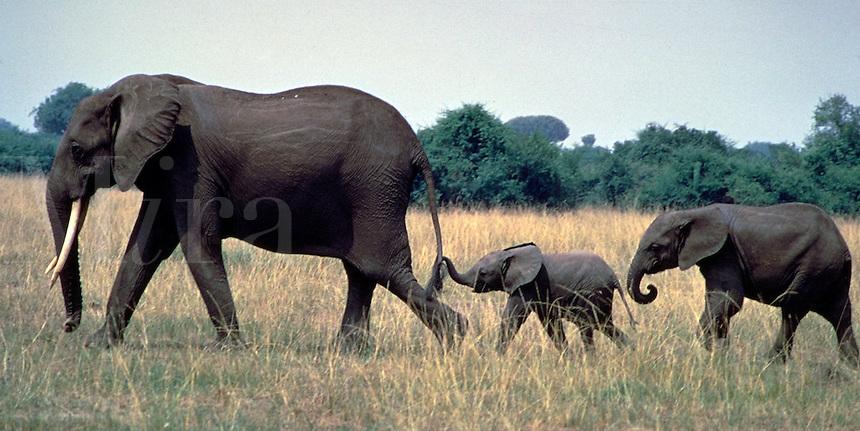 African, wild animal. An elephant family goes for a walk in Queen Elizabeth Park in Uganda. Uganda Queen Elizabeth Park.
