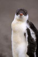 gentoo penguin chick, Pygoscelis papua, Paradise Island, Antarctica