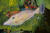 scrawled filefish, Aluterus scriptus, Saint Kitts Island (Saint Christopher), Saint Kitts and Nevis, Caribbean Sea, Atlantic Ocean